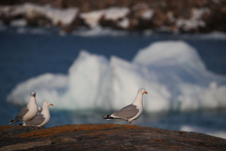 Birds walk on the shoreline as an iceberg floats in Flatrock Cove. The higher number of icebergs this season can be attribute