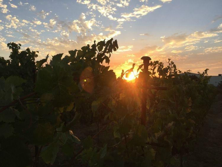 Sunrise on harvest day for Mumm Napa