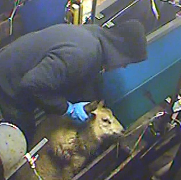 A halal slaughterhouse where workers were secretly filmed abusing animals went into administration...