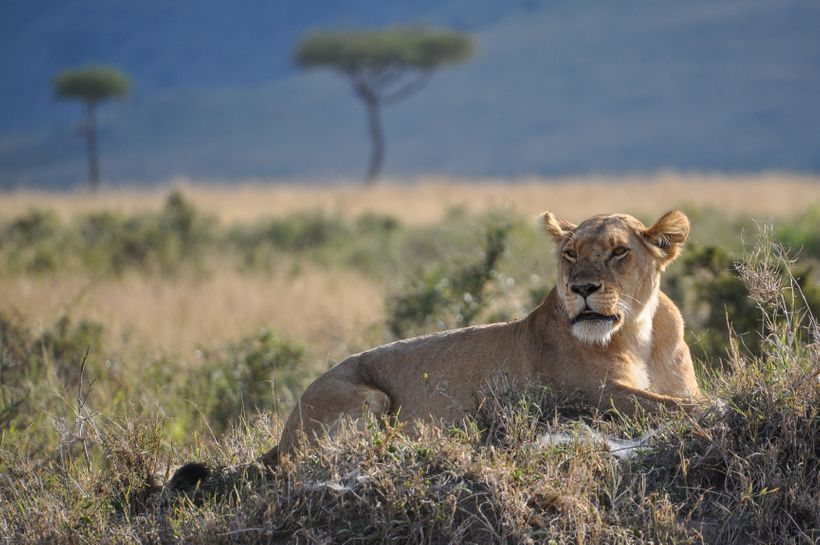 A lioness rests in the Maasai Mara, Kenya