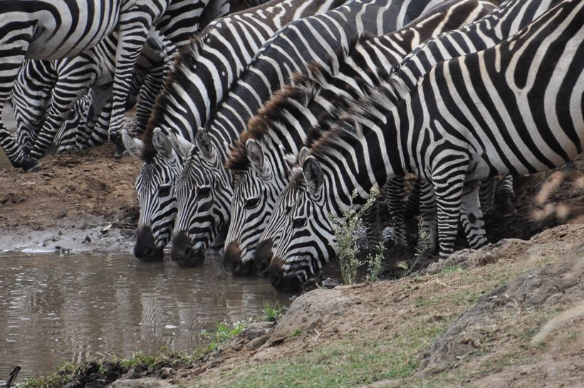 Zebras enjoy a drink from the Mara River, Kenya
