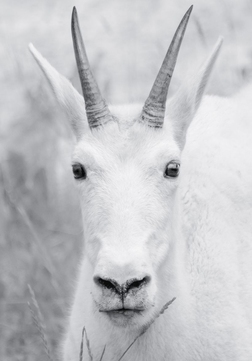 The treat of wildlife surprises in Jasper National Park. The Mountain Goat.