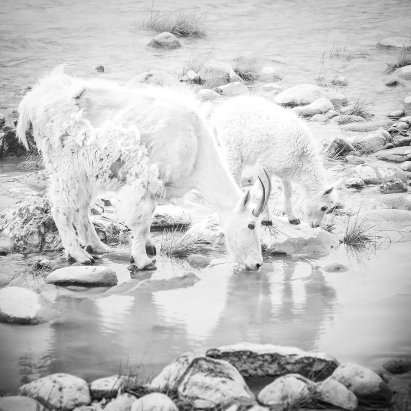 Mountain Goats drinking from the Athabasca River.