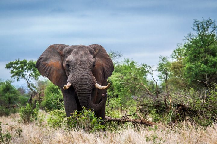 An elephant trampled a hunter in Namibia this past weekend. Above, a different elephant.