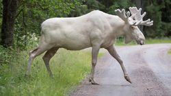 Footage Of Rare White Moose Taking A Dip Makes A Big
