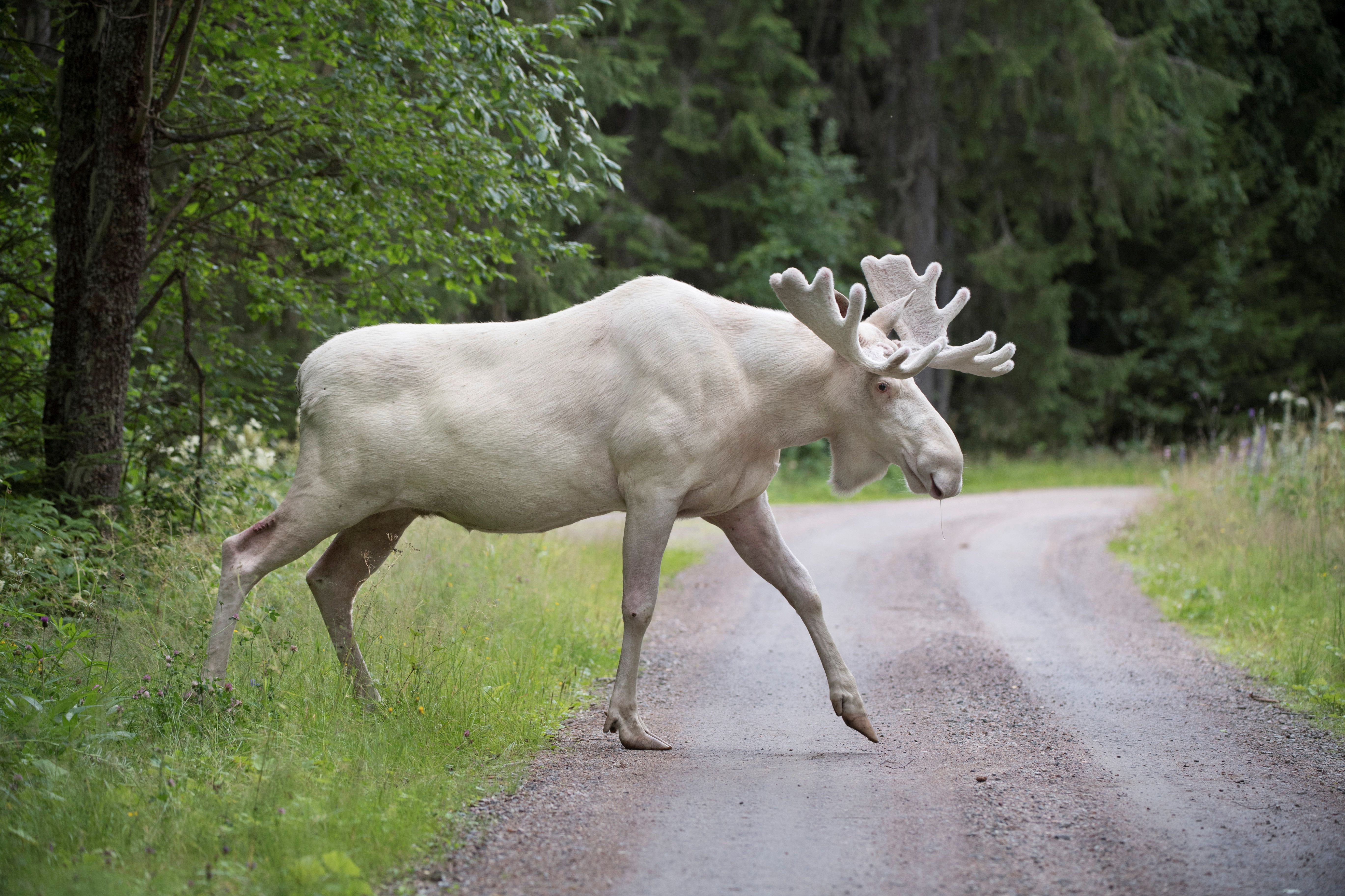 A rare white moose is seen in Gunnarskog, Varmland, Sweden July 31, 2017. Picture taken July 31, 2017. TT News Agency/Tommy Pedersen via REUTERS  ATTENTION EDITORS - THIS IMAGE WAS PROVIDED BY A THIRD PARTY. SWEDEN OUT. NO COMMERCIAL OR EDITORIAL SALES IN SWEDEN