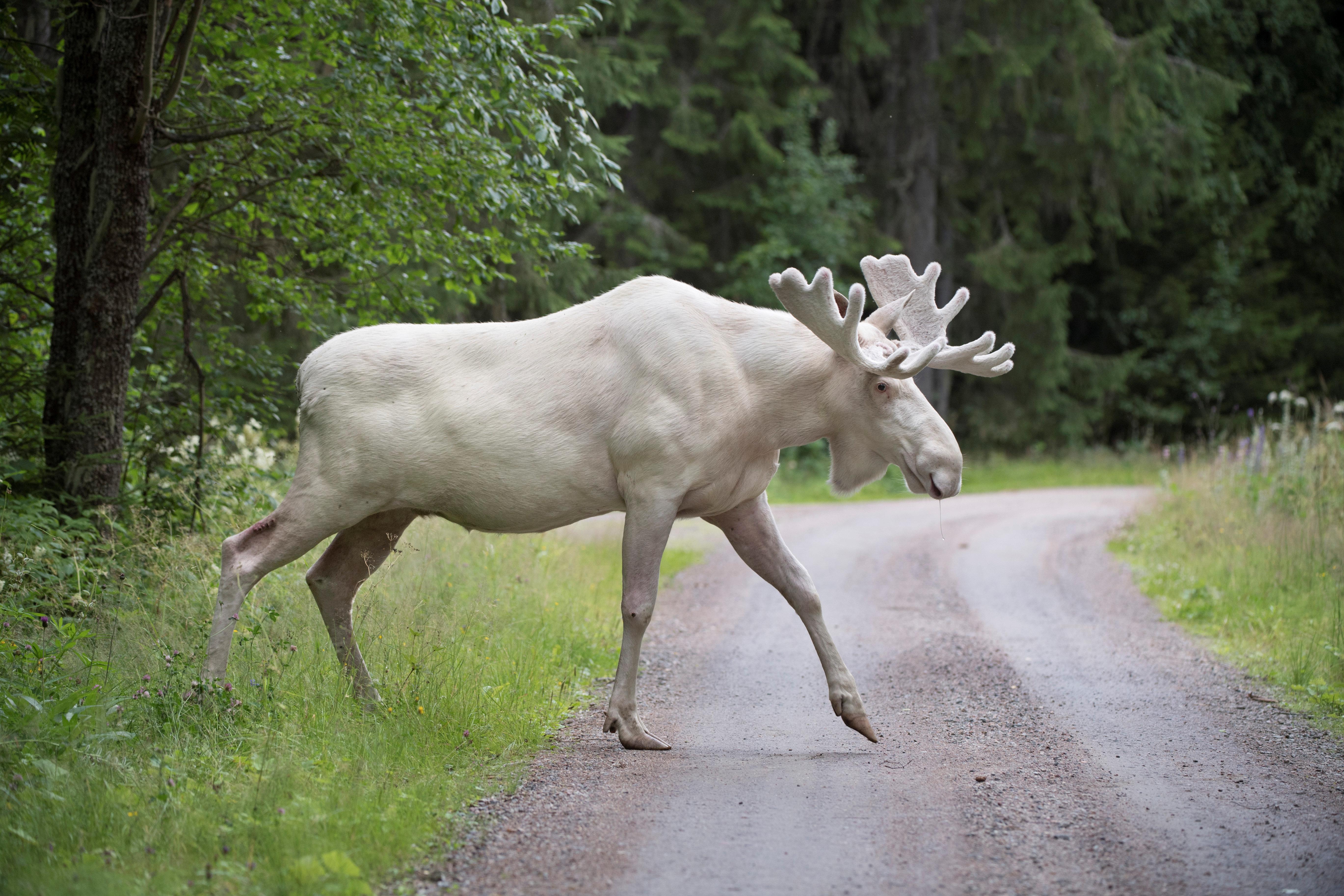 A rare white moose is seen in Gunnarskog, Varmland, Swedenon July 31st.