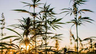 Close-up of cannabis plants against clear sky. Scenic view of crops growing in farm during sunset. Tranquil view of agricultural. Industrial.
