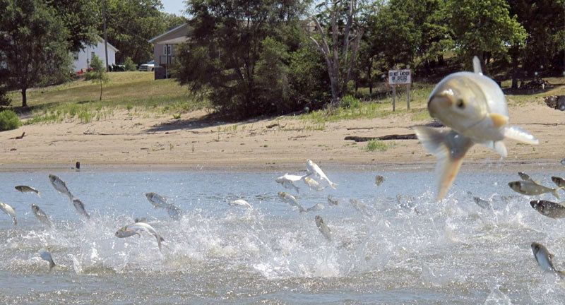 Asian carp, jolted by an electric current from a research boat, jump from the Illinois River near Havana, Illinois.