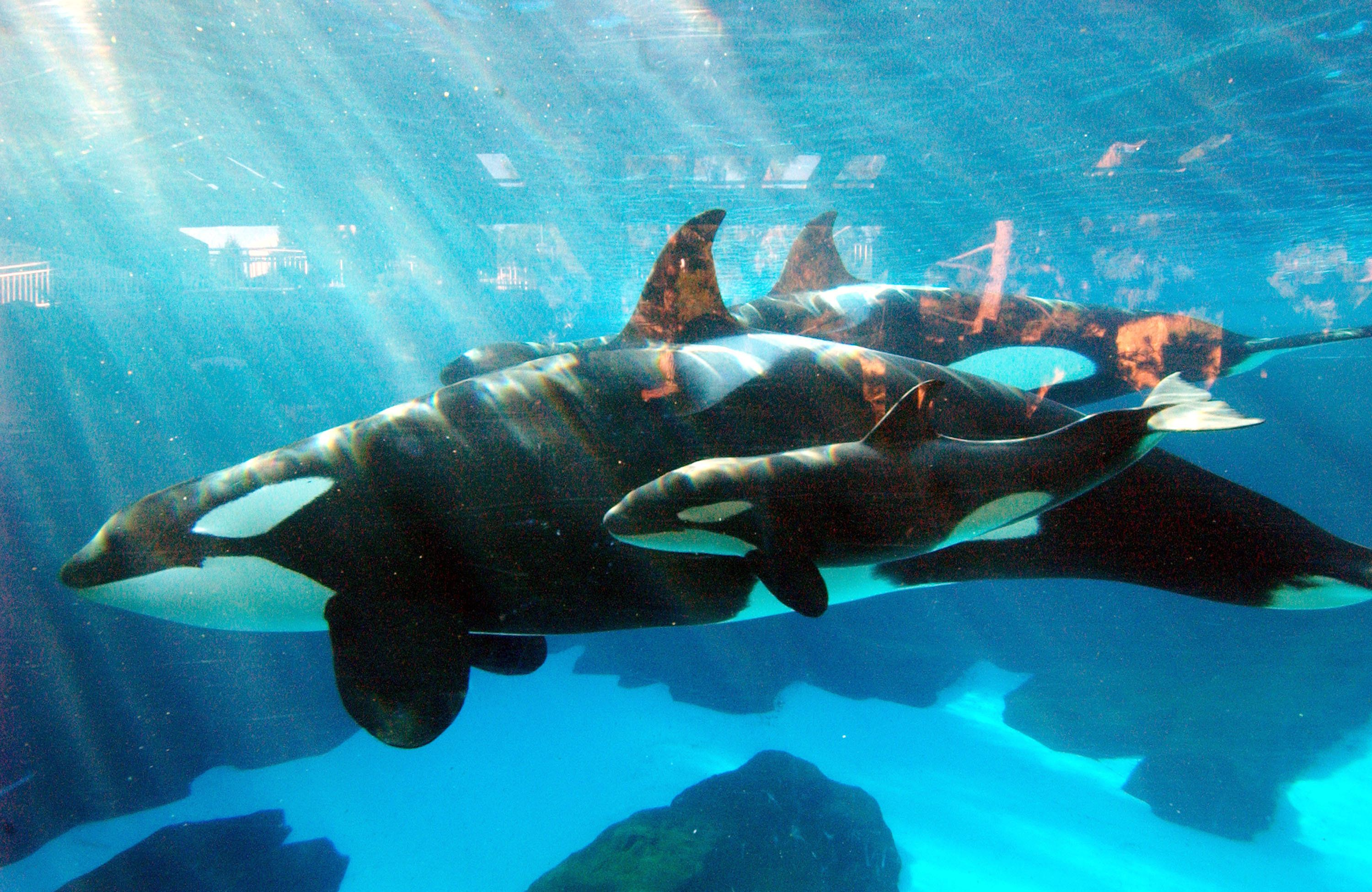 Sick orca euthanized at SeaWorld