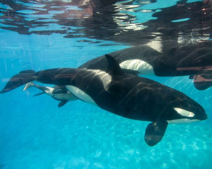 Kasatka's daughter, Kalia, and her newborn calf on Dec. 4, 2014. Kasatka, seen in the background, stayed close to Kalia durin