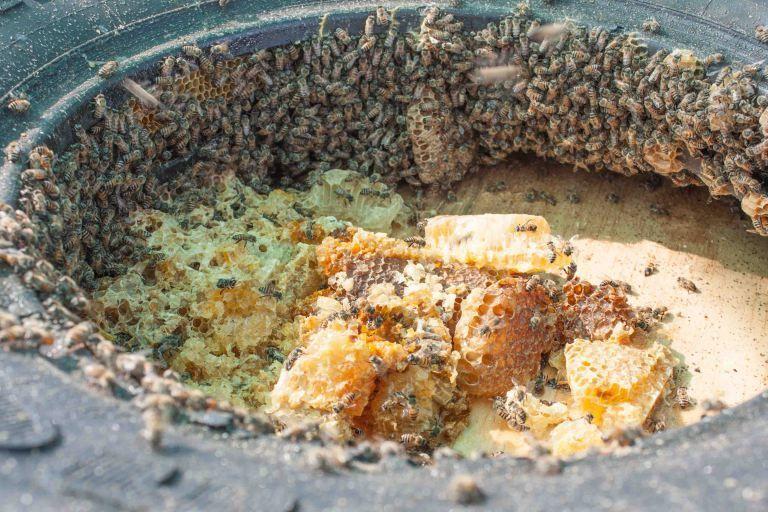 <em>CCF's feral beehive living in a tire.</em>