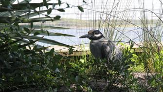 The yellow-crowned night heron is one of two herons at the saltwater marsh aviary exhibit at the South Carolina Aquarium in Charleston, South Carolina, U.S. on August 19, 2017.  Picture taken on August 19, 2017.    REUTERS/Nathan Frandino