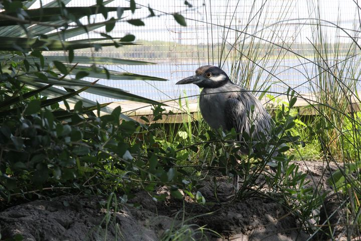 The yellow-crowned night heron is one of two herons at the South Carolina Aquarium's saltwater marsh aviary exhibit.