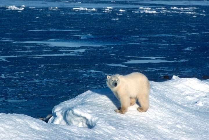Because polar bears depend on a sea ice habitat that literally melts as temperatures rise, they have become a target of globa