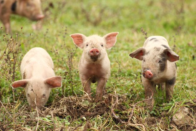 Fire crews in southern England saved 18 piglets from a barn blaze in February. Six months later, the...