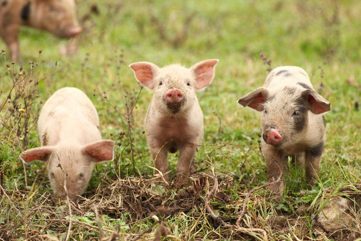 Fire crews in southern England saved 18 piglets from a barn blaze in February. Six months later, the grateful farmer served t