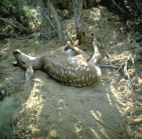 A young deer is caught in a leghold trap