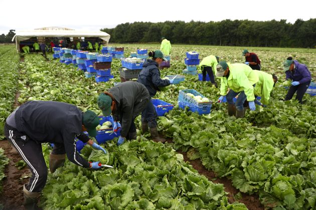 Migrant workers pick lettuce on a farm in Kent, Britain July