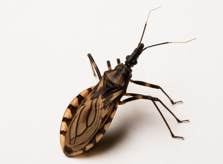 "A biting insect called the ""kissing bug"" carries a parasite in its gut which can infect humans with the deadly Chagas disease"