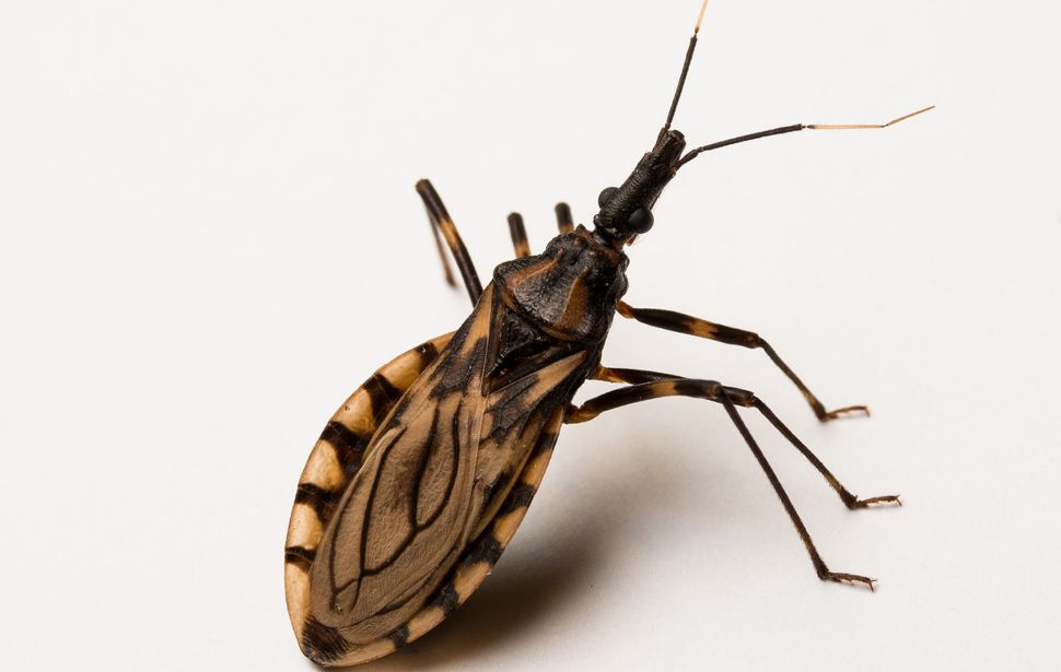 A kissing bug.