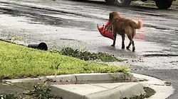 Doggo Walks Away With Bag Of Dog Food After Hurricane