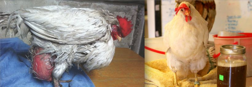 "On the left: Sweet Pea was rescued by <a rel=""nofollow"" href=""http://freefromharm.org/eggfacts/"" target=""_blank"">Free From Ha"
