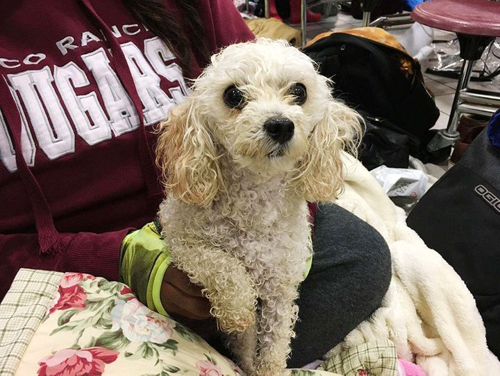 Deresharee Laracuente's dog Princess waits with her family at Cinco Ranch High School, an evacuation shelter.