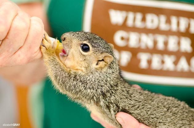 A squirrel is fed at the Houston SPCA Wildlife Center of