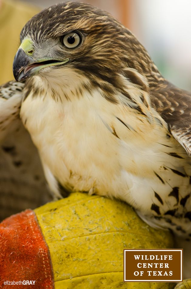 A red-tailed hawk receives care at the Houston SPCA Wildlife Center of