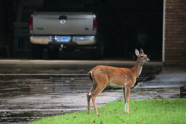 A deer stands in the driveway of a house, escaping high flood waters in Conroe, Texas, on
