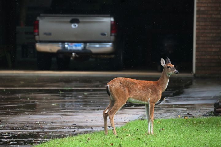 A deer stands in the driveway of a house, escaping high flood waters in Conroe, Texas, on Monday.