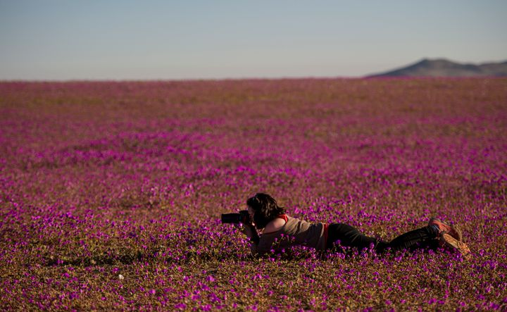 A photographer takes pictures of flowers blooming in the Huasco region on the Atacama desert onAug, 26, 2017.