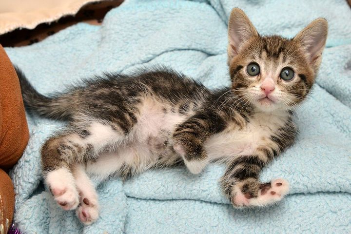 <i>Kanga Roo is a special kitten withRadial Agenesis, or missing bones in her front paws.</i>
