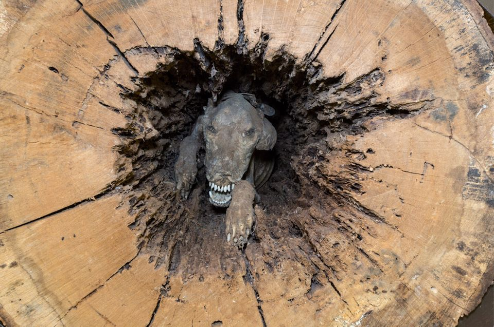 The Southern Forest World museum in Waycross, Georgia, is the proud home of Stuckie the mummified dog. A logging contractor f