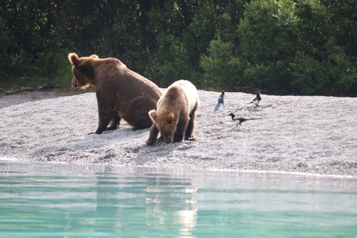 Mama bear teaches her cub how to fish.