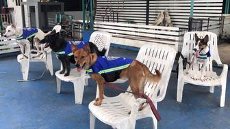 Dogs are seen wearing 'smart vests' which have a hidden video camera inside in a dog trainning centre in Bangkok, Thailand August 31, 2017. Picture taken August 31, 2017. REUTERS/Juarawee Kittisilpa
