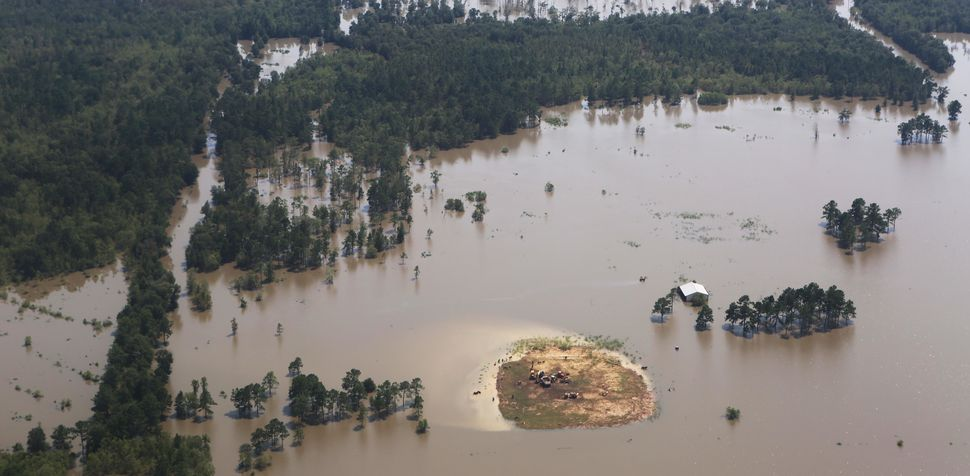Cattle stand on a small piece of land surrounded by floodwaters.