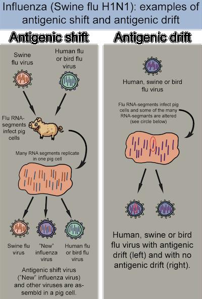 Antigenic shift vs. antigenic drift