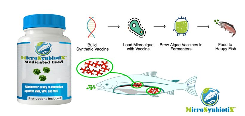 <strong>What we do at MicroSynbiotiX- Microalgae oral vaccines/functional feed additives.</strong>
