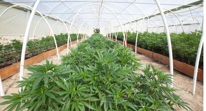 <p>Cannabis</p>