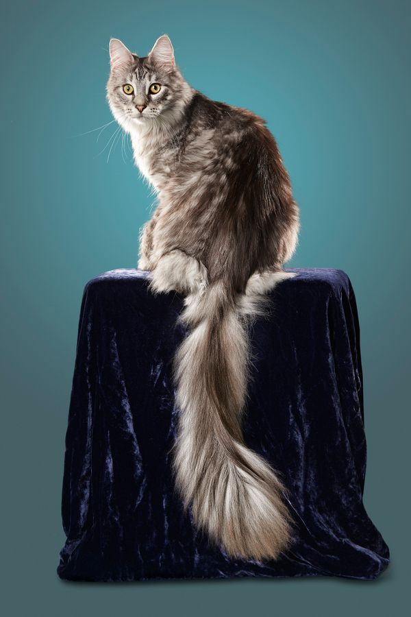 cat with longest tail kevin scott ramosguinness world records - Biggest Cat In The World Guinness 2015
