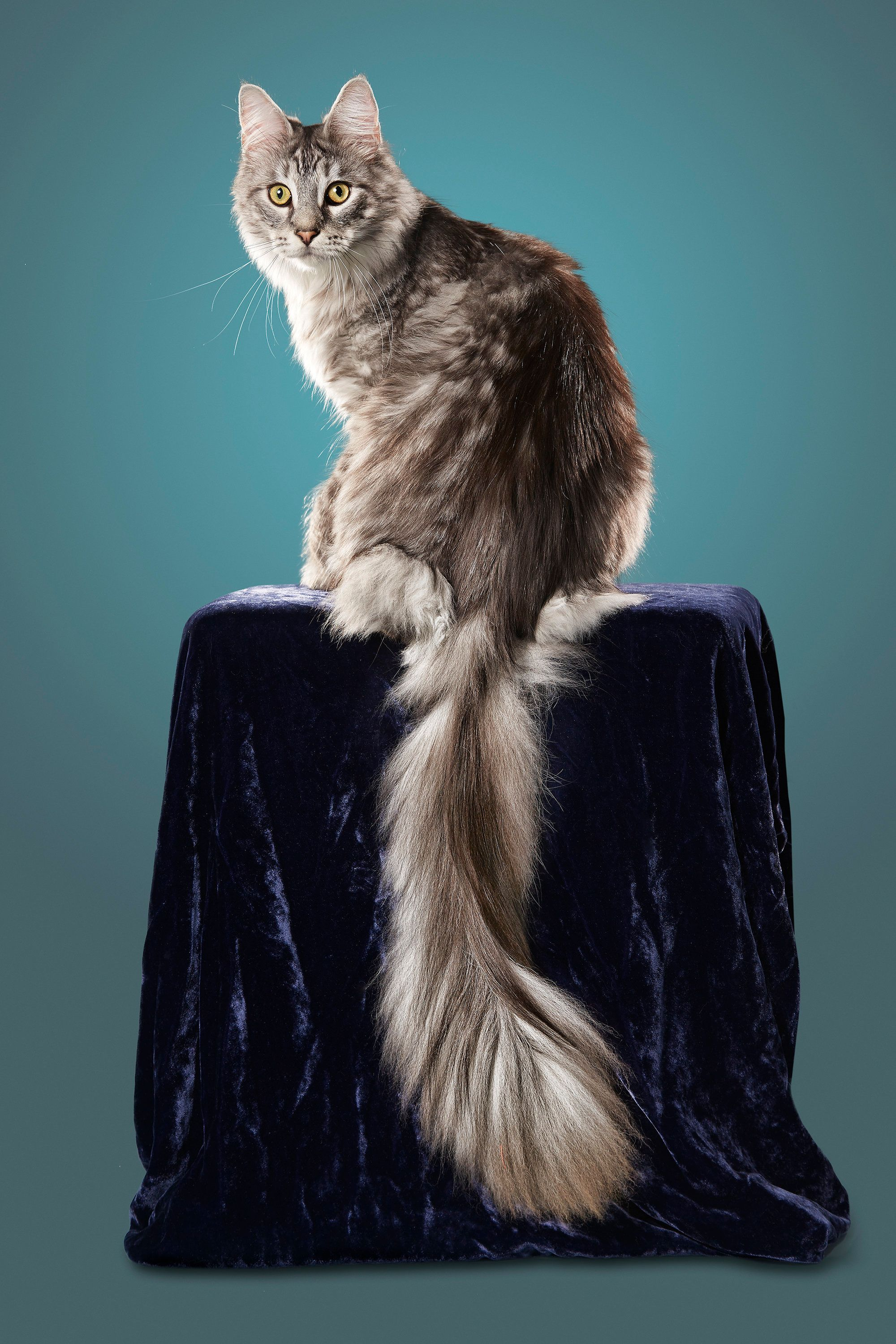 Cat With Longest Tail. Cygnus, A Maine Coon In Ferndale, Michigan, Has A  Tail Measuring 17.58 Inches. Kevin Scott Ramos/Guinness World Records