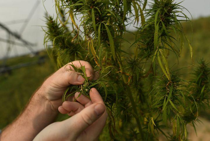 A close look at a hemp plant grown at a hemp farm in Colorado.