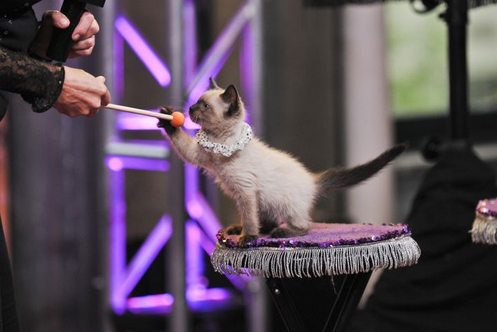 A kitten performs with The Amazing Acro-Cats in July 2015.
