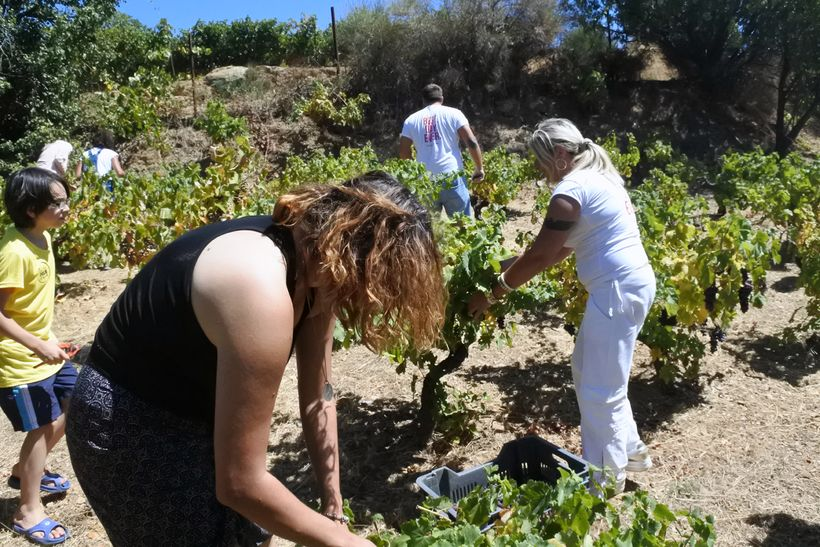 "Not your usual ""tourist"" activity, grape harvesting gives a sense of purpose, a better understanding of the local lifestyle o"