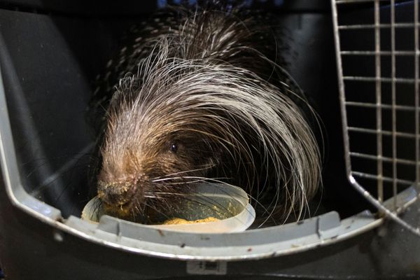 An African-crested porcupine inside a kennel.