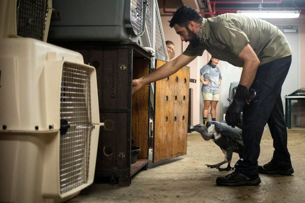 A zookeeper guides an Indian white-rumped vulture into a crate.