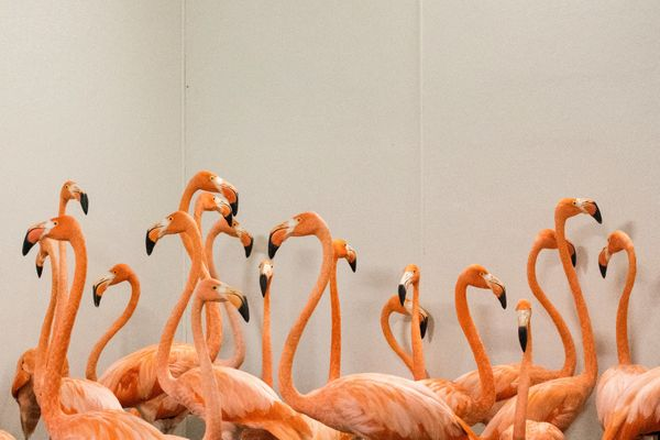 Flamingos take refuge in a shelter.