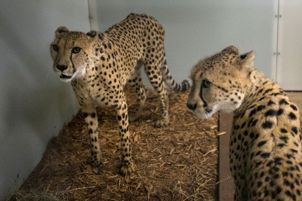 Cheetahs are moved into a shelter to ride out the storm.